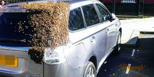 An Amusing True Story:  A swarm of bees follows a car to rescue their Queen